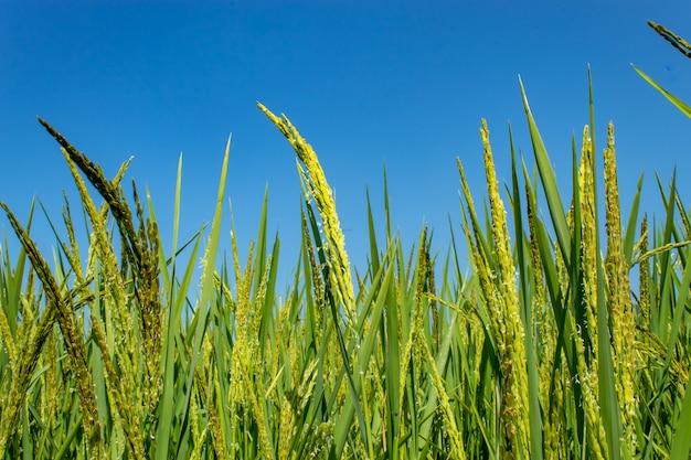 Arroz verde arrozais, e é logo até a colheita de sementes.