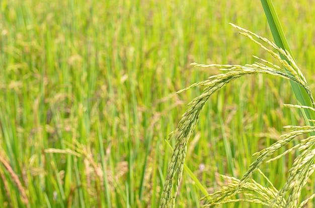 Arroz verde arrozais e é logo até a colheita de sementes.