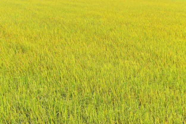 Arroz verde e amarelo no campo para o fundo
