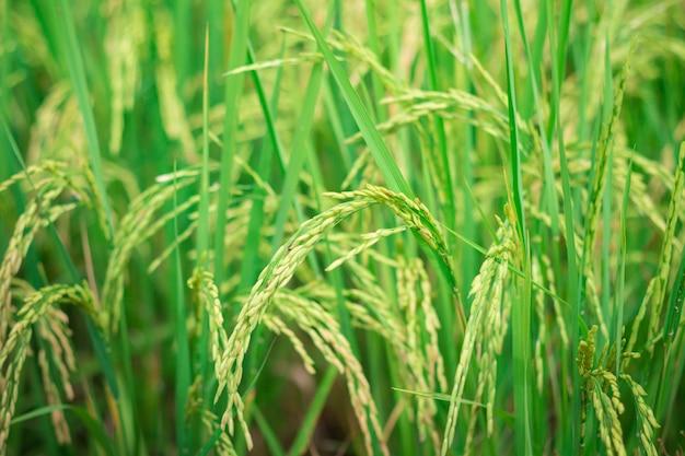 Arroz verde em campo agrícola cultivado fase inicial de desenvolvimento vegetal em agropecuária