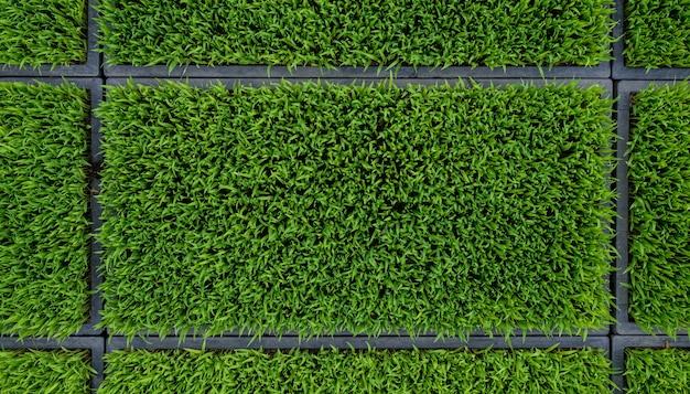 Arroz verde mudas folha milharal natureza superfície