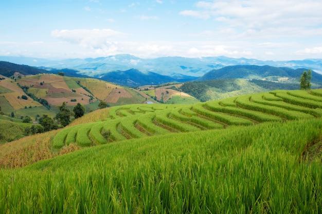 Arroz verde na colina com o céu azul na estação das chuvas.