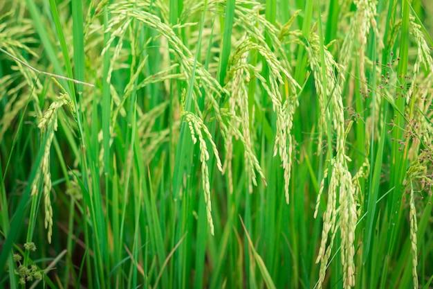 Arroz verde no estágio agrícola do campo agrícola cultivado