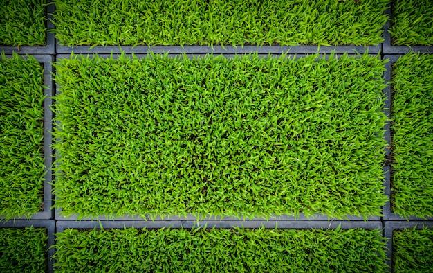 Arroz verde, seedlings, folha, cornfield, natureza, fundo