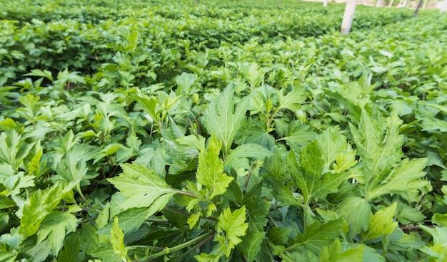 Artemisia lactiflora branca (artemisia lactiflora, guizhou) na horta tem propriedades medicinais