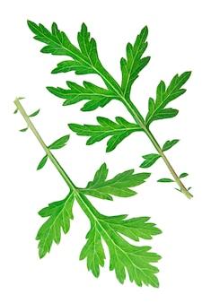 Artemisia vulgaris comum isolada contra um fundo branco