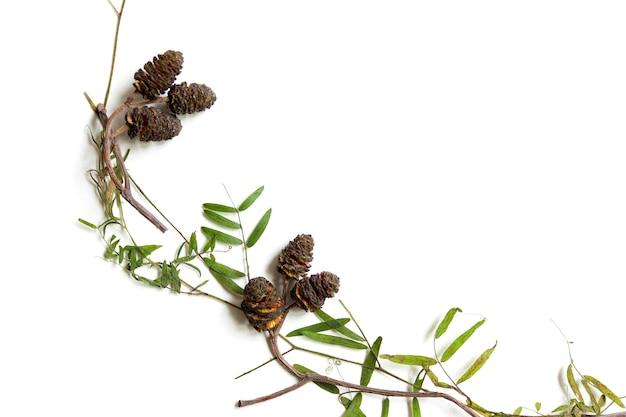 Artigos de herbário seco. cones e folhas de aspen com hastes de ervilha selvagem