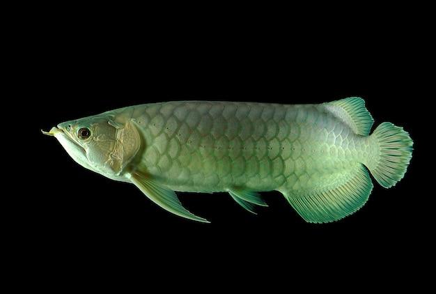 Aruanã peixe em fundo preto