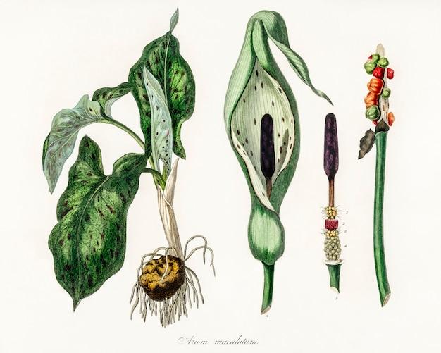 Arum maculatum ilustração de medical botany (1836)
