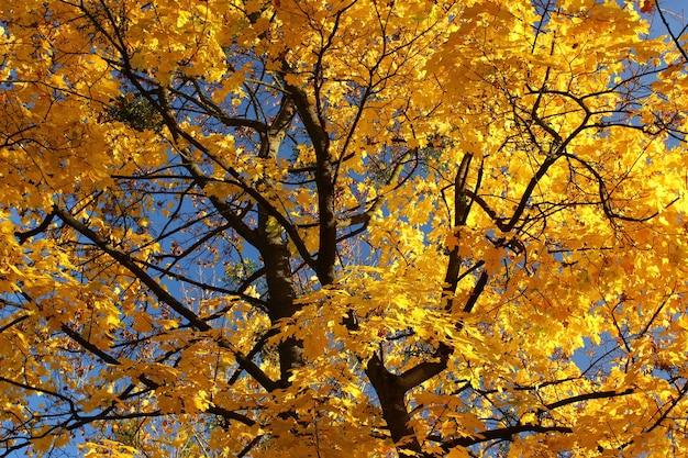 Árvore amarela de outono de perto