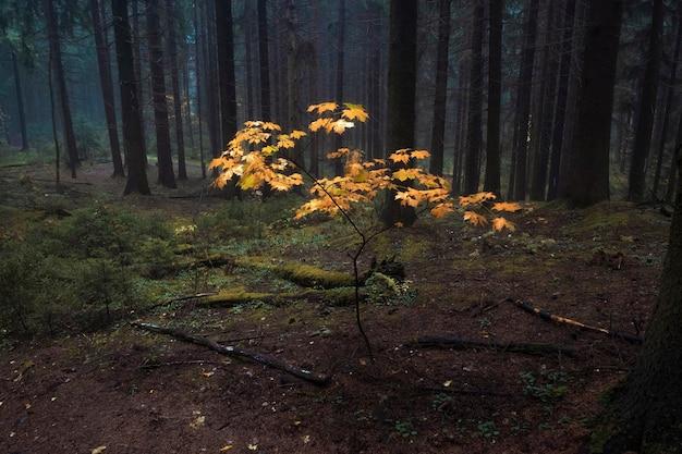 Árvore amarela em uma floresta nublada de outono após a chuva