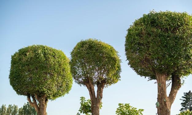 Árvore arredondada ou em forma de bola, estilo ao ar livre, corte de madeira no parque