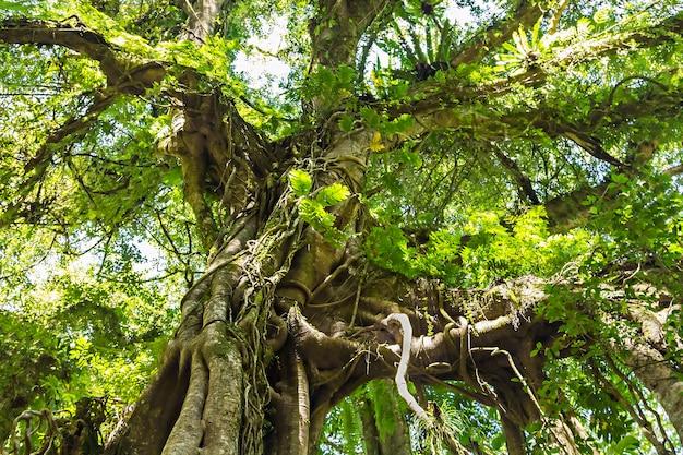 Árvore banyan