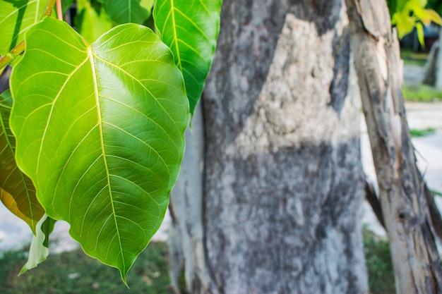 Árvore bodhi ou árvore peepal.