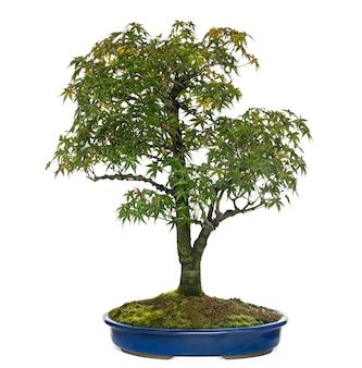 Árvore bonsai acer, isolada no branco