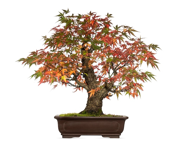 Árvore bonsai acer japonicum, isolada no branco