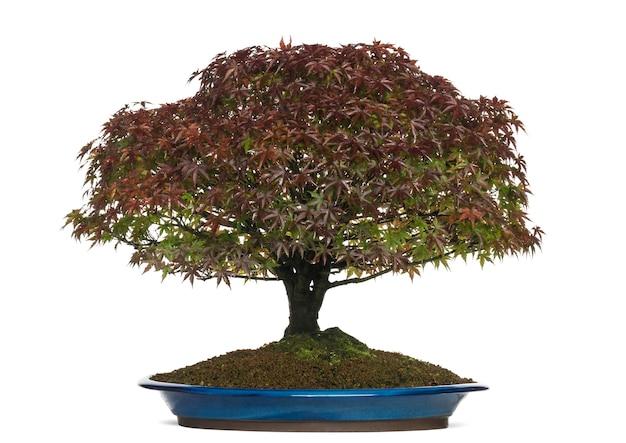 Árvore bonsai acer palmatum kiyohime, isolada no branco