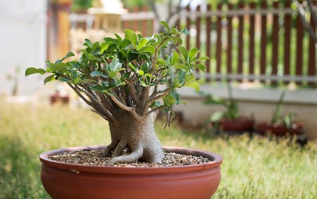 Árvore bonsai ao ar livre