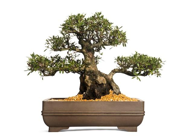Árvore bonsai azaléia, rododendro, isolado no branco