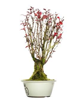 Árvore bonsai berberis, isolada no branco