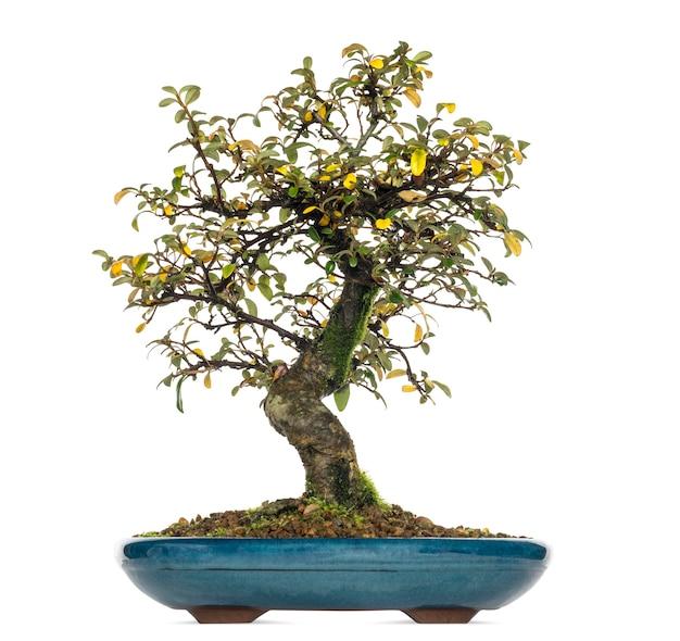 Árvore bonsai cotoneaster dammeri, isolada no branco