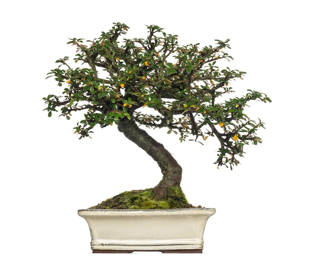 Árvore bonsai cotoneaster horizontalis, isolada no branco
