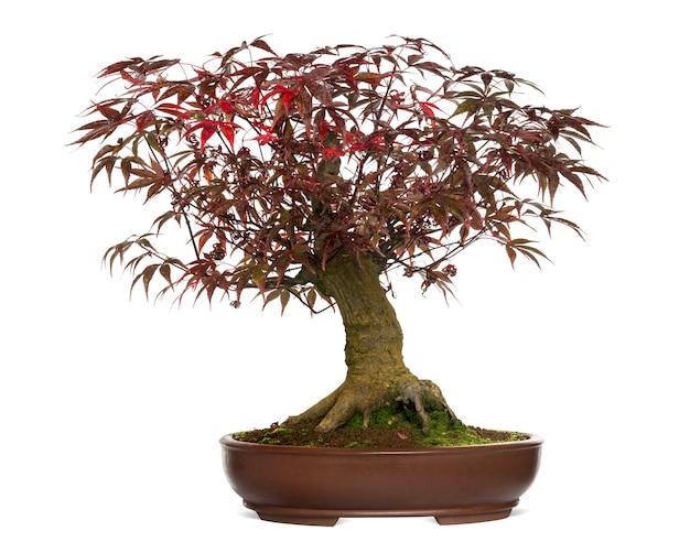 Árvore bonsai de bordo japonês, acer palmatum, isolada no branco