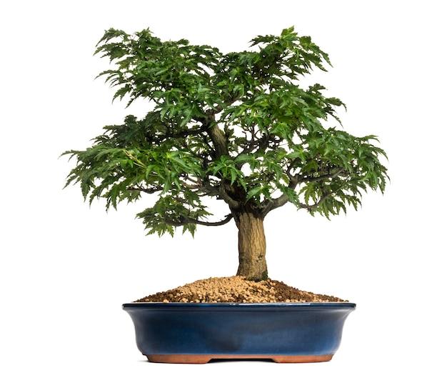 Árvore bonsai de bordo japonês ou shishigashira, acer palmatum, isolada no branco