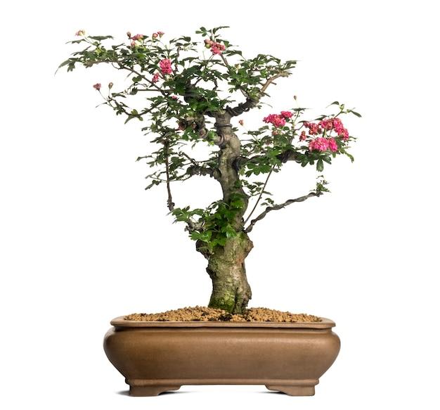 Árvore bonsai de espinheiro, crataegus, isolado no branco