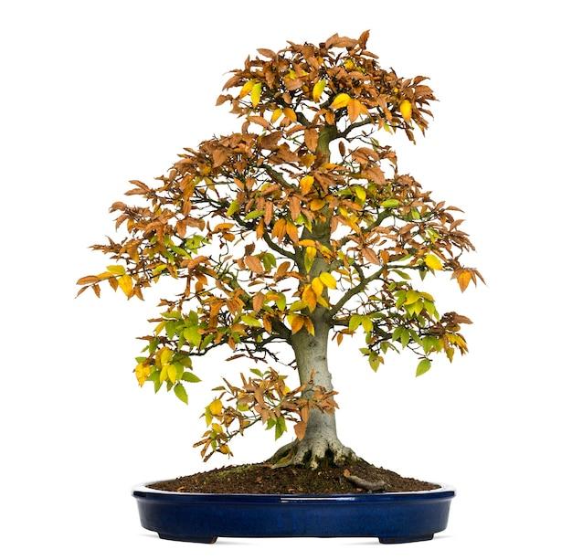 Árvore bonsai de faia, fagus, isolada no branco