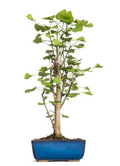 Árvore bonsai de ginkgo, ginkgoaceae, isolada no branco