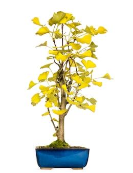 Árvore bonsai de ginkgo, isolada no branco
