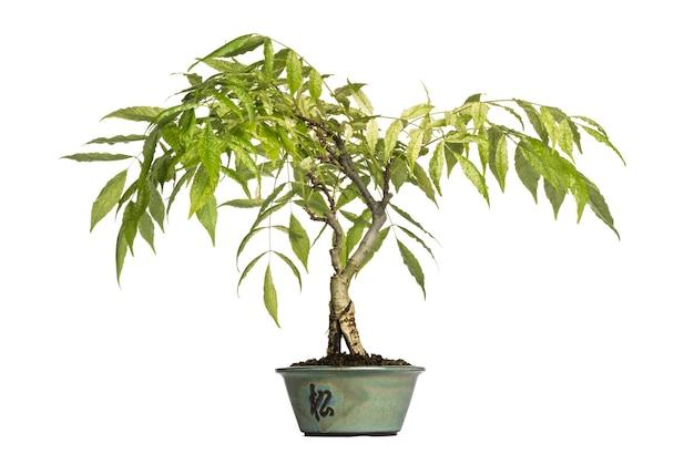 Árvore bonsai de glicínia, isolada no branco
