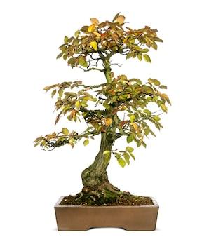 Árvore bonsai de hornbeam coreano, carpinus turczaninowii, isolada no branco
