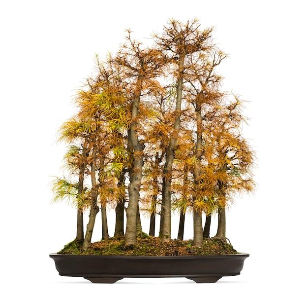 Árvore bonsai de lariço dourado, pseudolarix amabilis, isolado no branco