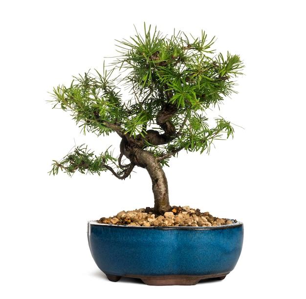 Árvore bonsai de lariço europeu, larix decidua, isolada no branco
