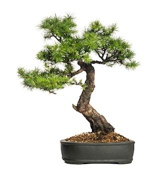 Árvore bonsai de lariço, larix, isolada no branco
