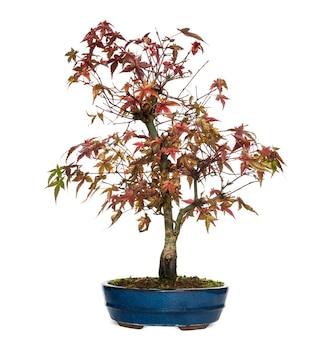 Árvore bonsai de olmo, ulmus, isolado no branco