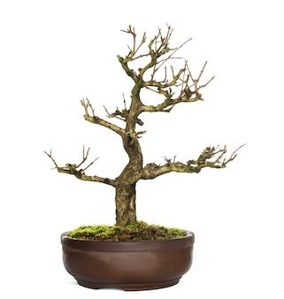Árvore bonsai de romã, punica granatum, isolada no branco