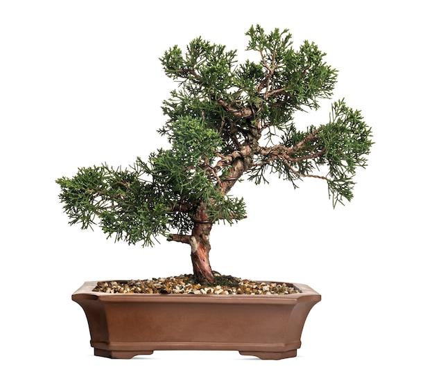 Árvore bonsai de zimbro, juniperus, isolada no branco