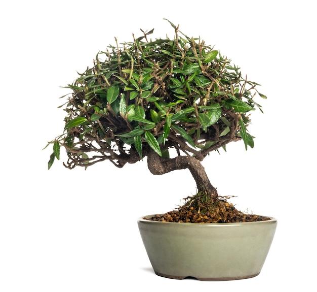 Árvore bonsai, isolada no branco