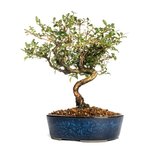 Árvore bonsai madressilva, lonicera caprifolium, isolada no branco