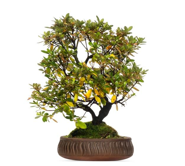 Árvore bonsai rododendro, isolada no branco