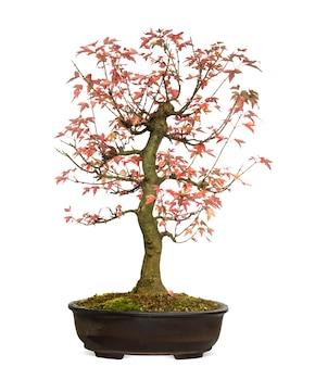 Árvore bonsai trident maple, acer buergerianum, isolada no branco