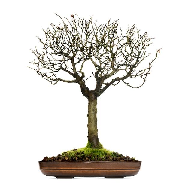 Árvore bonsai zelkova, isolada no branco