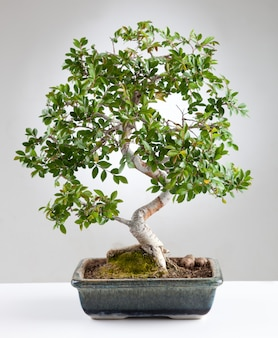 Árvore bonsai