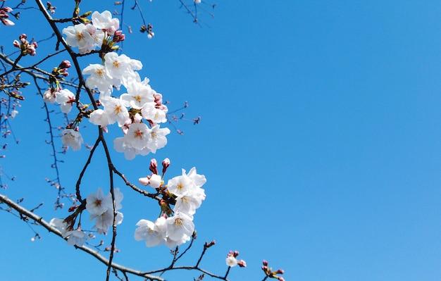 Árvore branca de florescência do ramo de sakura da flor de cerejeira do japonês com fundo do céu azul.