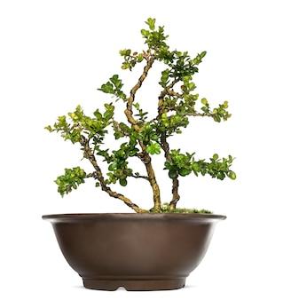 Árvore buxus bonsai, isolada no branco