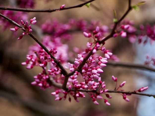 Árvore canadense de galhos cercis com flores rosa closeup de galhos