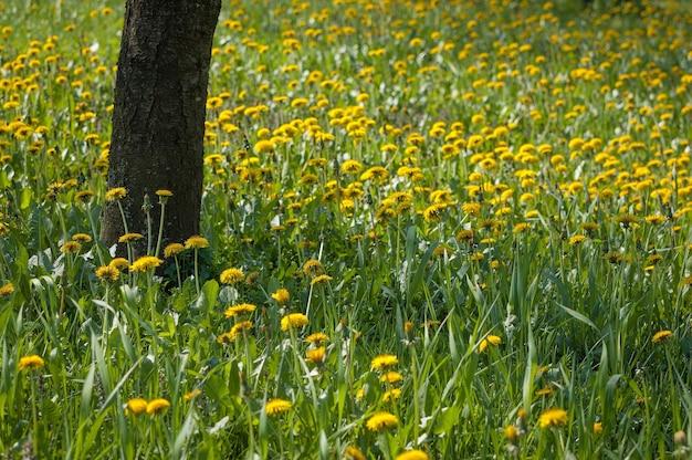 Árvore cercada por várias flores amarelas